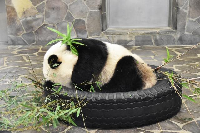 恥ずかしがるパンダ